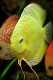 718 best freshwater fish images on pinterest tropical fish