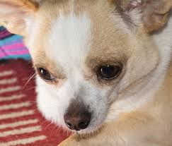 What Causes Dogs To Go Blind Everything You Need To Know About Hydrocephalus In Dogs And Cats
