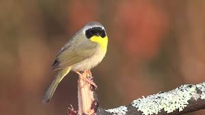 common yellowthroat youtube