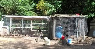 ideas for catching loose turkey needed backyard chickens