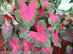 white majesty caladium bulbs a new caladium variety from classic