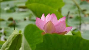 Lotus Flower Bloom - blooming lotus flower in the summer stock footage video 4325858