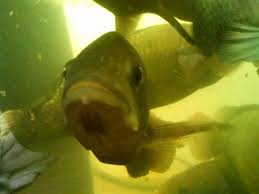 backyard aquaponics u2022 view topic is this a parasite