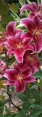 Lily Flower Garden - best 20 oriental lily ideas on pinterest stargazer lilies