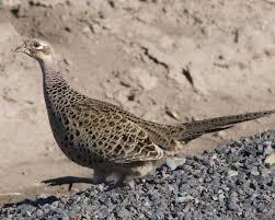 ring necked pheasant audubon field guide