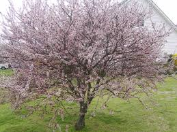 nashville cherry tree middle tn