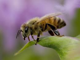 africanized honey bee facts anatomy diet habitat behavior