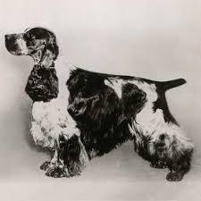imagenes de english cocker spaniel english cocker spaniel dog breed information