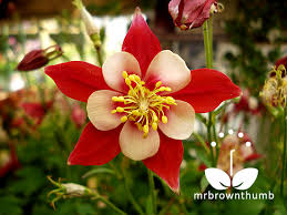columbine flowers how to collect columbine flower seeds mrbrownthumb