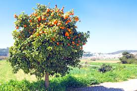 citrus trees for sale fast growing trees com