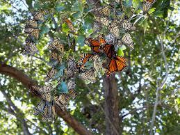 Monarch Migration Map Monarch Butterfly Migration Journey North Citizen Science