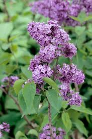 Shrub With Fragrant Purple Flowers - how to plant and care for lilacs hgtv