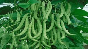 romano pole bean phaseolus vulgaris my pole bean vine an