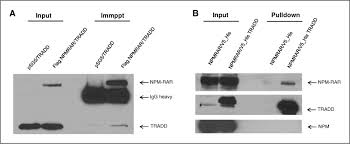 Anti Flag Antibody Extrinsic Apoptosis Is Impeded By Direct Binding Of The Apl Fusion