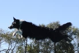 australian shepherd illinois first harmony farms border collie miniature australian
