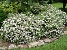 Shrub Small White Flowers - spirea u0027little princess u0027 garden housecalls