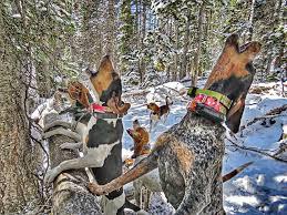 bluetick coonhound treeing singing photograph by adam bilek
