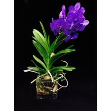 vanda orchids vanda orchid delight fort lauderdale and palm premier orchid