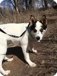 australian shepherd and husky mix denver co australian shepherd siberian husky mix meet toby a