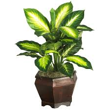 Silk Plants Direct Jade Plant 20 5 Inch Golden Dieffenbachia In Wood Vase From Artificial Plants