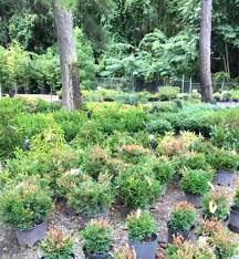 Clemson Botanical Garden by Boxwood Blight Discovered In S C Plant Nursery Clemson