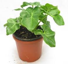 buy philodendron ceylon plant online at best prices in india