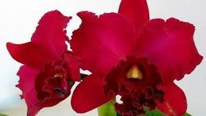 cattleya orchids cattleya orchids k k orchids