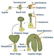 Where Is The Pollen Produced In A Flower - plant fertilization post fertilization in flowering plants
