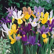 iris bulb 20 pack mix perennial iris bulbs