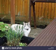 beautiful colourpoint ragdoll cat in english garden stock photo