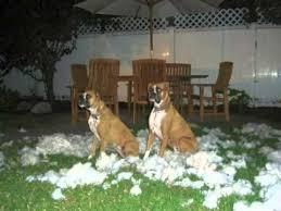 boxer dog xmas bad boxer dogs i u0027m gettin u0027 nuttin u0027 for christmas youtube