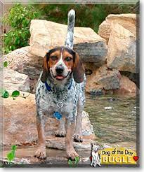 bluetick coonhound beagle bugle blue tick hound beagle january 14 2007