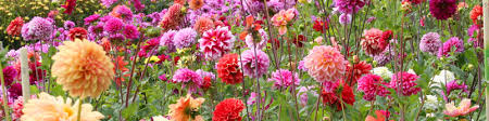 flower bulb collection and perennial bulb collection