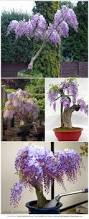 Trees Plants And Flowers - fragrant purple flowers now in tree form purple wisteria tree
