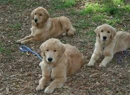 Comfort Retrievers For Adoption Shadalane Golden Retrievers