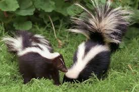 How To Get Rid Of A Skunk In Your Backyard How To Get Rid Of Coyotes Skunks Raccoons And More L A At
