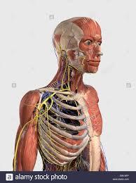 Human Anatomy Upper Body Upper Body Anatomy Artwork Stock Photos U0026 Upper Body Anatomy