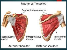 Muscle Anatomy Of Shoulder Mri Of The Shoulder