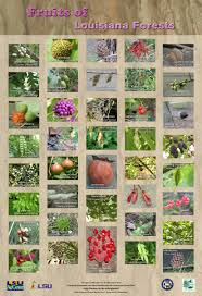 edible native plants plants of louisiana forests mini poster series