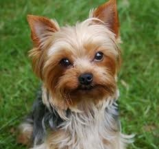 luxury yorkie poo pictures haircuts hairhova
