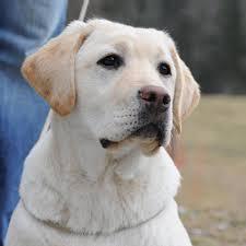 australian shepherd 7 wochen ashford castle labradors home facebook
