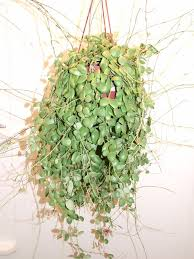 Tropical Fragrant Plants - 1005 best fragrant plants images on pinterest balcony plants