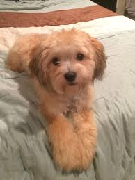 shi poo best 25 shih tzu poodle mix ideas on pinterest shih tzu poodle