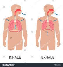 Human Anatomy Respiratory System Vector Respiratory System Anatomy Breathing Human Stock Vector
