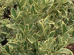 Small Shrubs For Front Yard - low growing evergreen shrubs south carolina garden guru