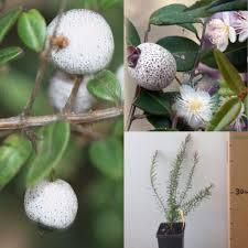 australian native shade plants daleys fruit tree blog january 2016