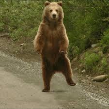 Dancing Bear Meme - dancing bear gif 13 gif images download