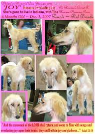 afghan hound saddle aaawww afghan hound show dogs photographs champion sired akc