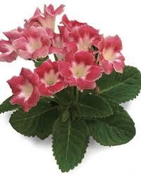 Low Light Indoor Flowers Abundant Indoor Blooms Fine Gardening