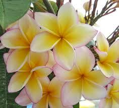 australian native edible plants flor de mayo lei flower plumeria frangipani zoom u0027s edible plants